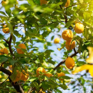 Lemon tree with ripe fruits. Branch of fresh ripe lemons with leaves in sun beams. Mediterranean citrus grove